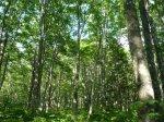 新緑のブナの森ガイドウォーク